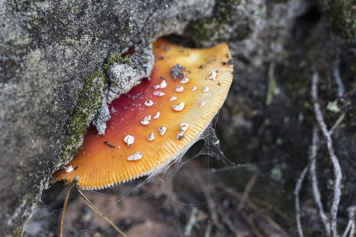 Funghi-Amanita-muscaria-1